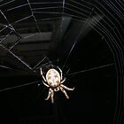 Spider on its webb by barnsis