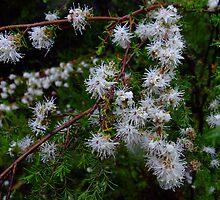 Kunzea ambigua, the tick bush by orkology