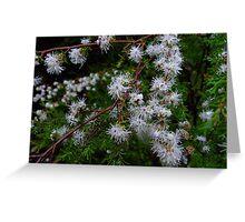 Kunzea ambigua, the tick bush Greeting Card