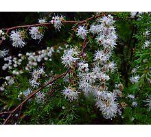 Kunzea ambigua, the tick bush Photographic Print