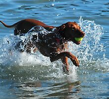Hungarian Viszla Pounding Through The Water by Richard Shakenovsky
