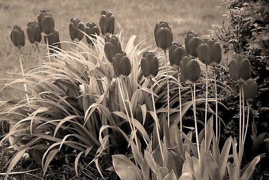 old timey tulips by dedmanshootn