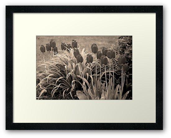 old timey tulips by dedmanshootn