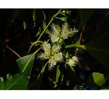 Brush box flowers, Lophostemon confertus Photographic Print