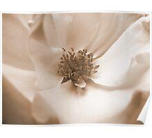 Delicate Romantic English Sepia Rose Poster
