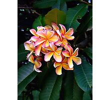 Tutti-frutti Frangipani at Redcliffe, Qld. Photographic Print
