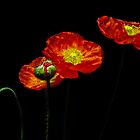Five Poppies by Barb Leopold