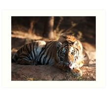 Tiger cleaning himself Art Print