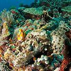 Crocodilefish, North Sulawesi, Indonesia by Erik Schlogl