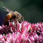 Honeybee on Common Milkweed by Renee Blake