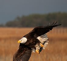 American Bald Eagle Catching a Fish Pic 2 by TJ Baccari Photography
