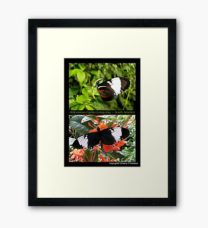 Butterfly (South America) ~ Heliconius cydno Framed Print