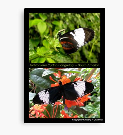 Butterfly (South America) ~ Heliconius cydno Canvas Print