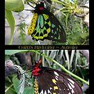 Butterfly (Australia) ~ Cairns Birdwing  ♂ & ♀ by Kimberly Chadwick