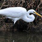 Great Egret Hunting by Dennis Stewart