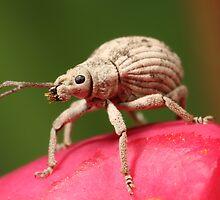 Beaded Weevil Beetle by Etwin