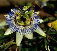 Passion Fruit Flower by sedge808