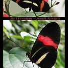 Butterfly (South America) ~ Red Postman by Kimberly Chadwick