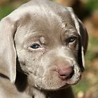 Weimaraner for $ale by DebbieCHayes