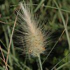 White Foxtail grass, Pennisetum villosum by orkology