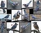 Jazzy Blue Jays by WalnutHill