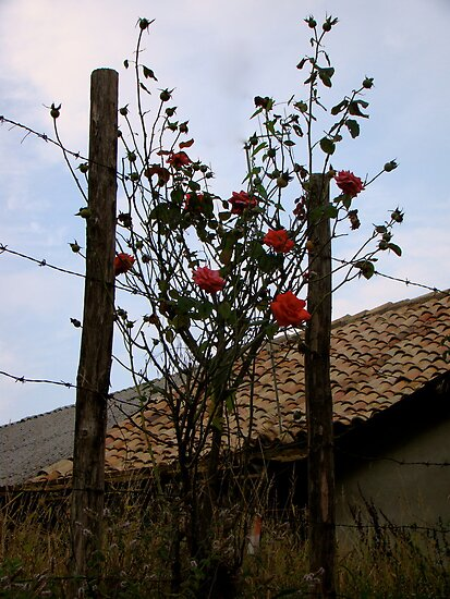 Barbe Wire Roses by fairielights