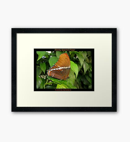 Butterfly (Central America) ~ Rusty-tipped Page Framed Print