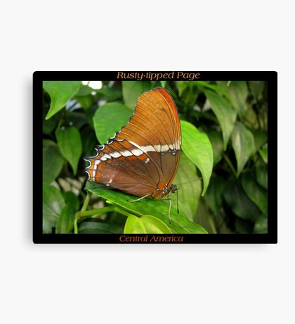 Butterfly (Central America) ~ Rusty-tipped Page Canvas Print