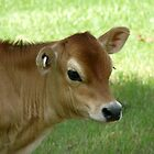 Jersey Calf by Margaret Stockdale