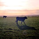 Cow Silhouette by petejsmith