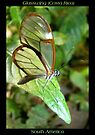 Butterfly (S. America, Costa Rica) ~ Glasswing by Kimberly Chadwick