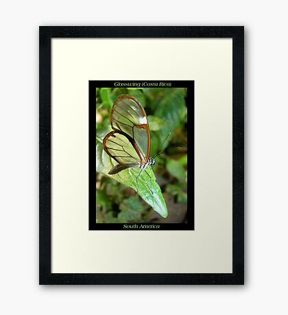 Butterfly (S. America, Costa Rica) ~ Glasswing Framed Print