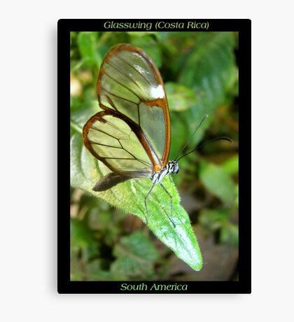 Butterfly (S. America, Costa Rica) ~ Glasswing Canvas Print