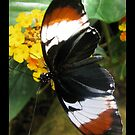 Butterfly (S. America) ~ H. heurppa Longwing by Kimberly Chadwick