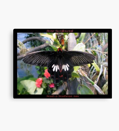 Butterfly (Asia) ~ Rose Swallowtail Canvas Print
