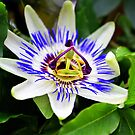 Passion flower at Chico Hot Springs, Montana by amontanaview