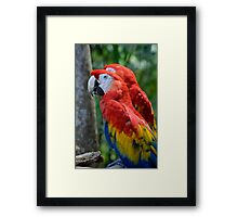 Portrait of Two Rainbow Coloured Scarlet Macaws Framed Print