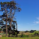 Pine trees, Old Kilcunda, Gippsland, Victoria. by johnrf