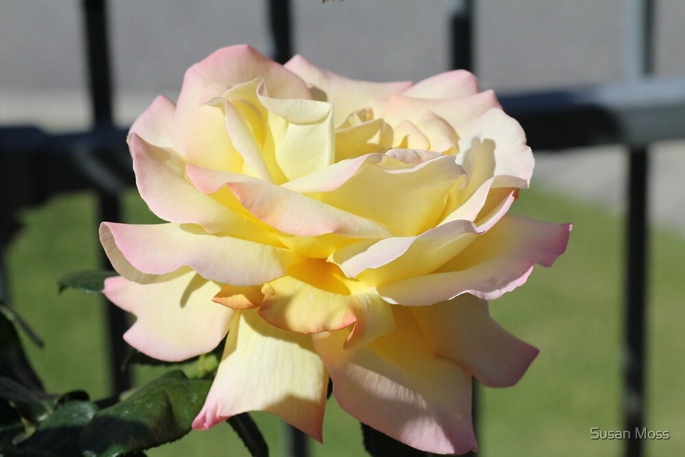 Rosa Peace by Susan Moss