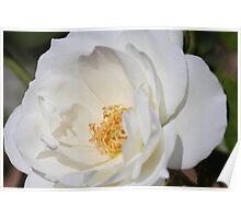 White Iceberg rose Poster