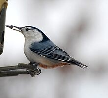 White Breasted Nuthatch by barnsis