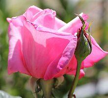 Roses Calendar by Susan Moss