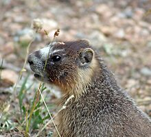 Rocky Mountain Marmot by mokacat