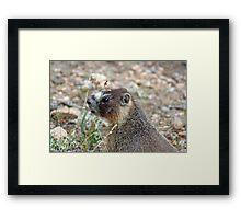 Rocky Mountain Marmot Framed Print