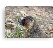 Rocky Mountain Marmot Canvas Print