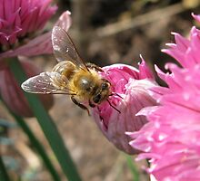 Bee on Chive Blossom by ingridthecrafty