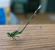 Damselfly in Distress: Rescued by ingridthecrafty