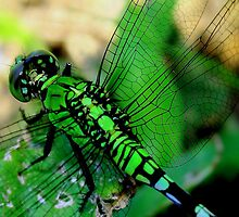 Dragonfly by CourtneyJohnson