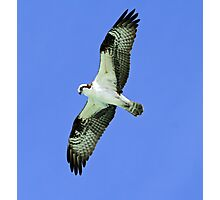 Osprey in flight 4 Photographic Print