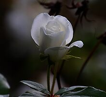 White rose by Declan Carr